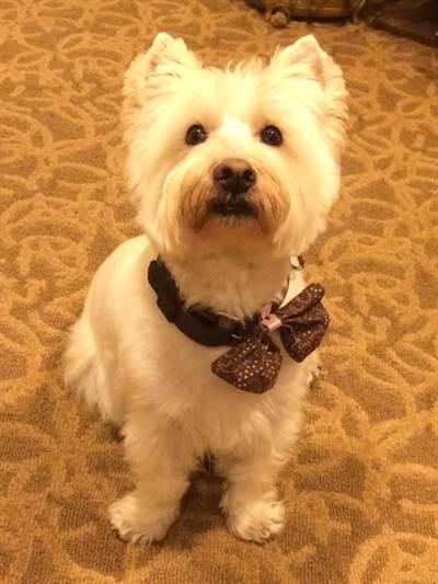 petite white puppy wearing a bowtie